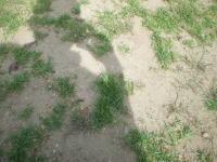 西洋芝の斑